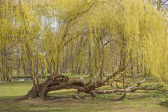 Weeping willow tree in the park Stock Images