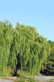 Weeping willow tree Stock Photography