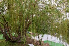 Weeping willow tree in the public park. Weeping willow in a public park with a flowering tree in the background Stock Image