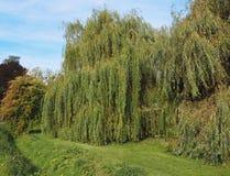 Weeping willow tree. Weeping willow (Salix babylonica) aka Babylon willow tree stock image