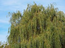 Weeping willow tree. Weeping willow (Salix babylonica) aka Babylon willow tree royalty free stock images
