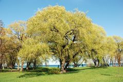 Weeping willow tree scene. Weeping willow tree on a sunny spring day Stock Image