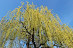 Weeping willow tree in spring on a blue sky background stock images