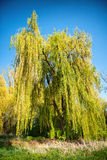 Weeping willow tree with spring foliage Royalty Free Stock Photography