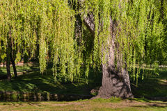 Weeping willow tree in springtime Stock Photos