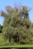 Weeping Willow Tree. The summer breeze on the Weeping Willow Tree Stock Photography