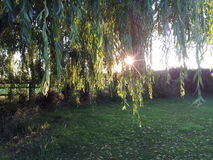 Weeping willow tree. Sun shinning through a willow tree in the garden Stock Image