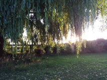Weeping willow tree. Sun shinning through a willow tree in the garden Royalty Free Stock Photo