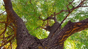 Weeping willow tree. Trunk of a weeping willow tree in a low angle view royalty free stock image