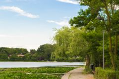 Weeping Willow tree and Water Lilies. Beautiful landscape royalty free stock photo