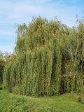 Weeping willow tree. Weeping willow (Salix babylonica) aka Babylon willow tree royalty free stock photography
