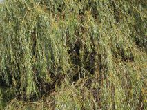 Weeping willow tree. Weeping willow (Salix babylonica) aka Babylon willow tree royalty free stock photos
