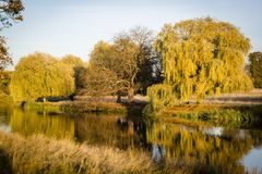Weeping willow tree royalty free stock photos