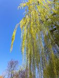 Weeping Willow tree. On the bank of Mures river, in a sunny spring day and a bicycle trail- Arad city - Romania royalty free stock image