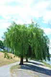 Weeping willow tree. In the public park stock photos