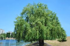 Weeping willow tree royalty free stock photography
