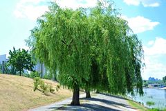 Weeping willow tree. In the public park royalty free stock photography