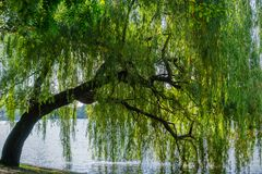Weeping willow tree royalty free stock photo