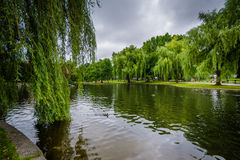 Weeping willow trees and the lake at the Public Garden in Boston. Massachusetts royalty free stock photography