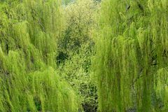Weeping willow trees Royalty Free Stock Photos