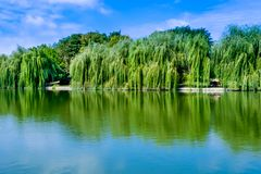 Weeping willow trees. And a pond in the Alexandru Ioan Cuza Park, Bucharest, Romania. Daylight, summer, 2018 stock photography