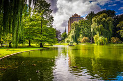 Weeping willow trees and a pond in the Boston Public Garden. stock photos