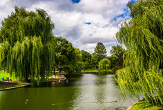 Weeping willow trees and a pond in the Boston Public Garden. Weeping willow trees and a pond in the Boston Public Garden stock image