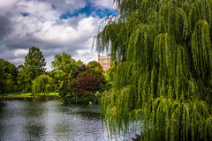 Weeping willow trees and a pond in the Boston Public Garden. royalty free stock photos