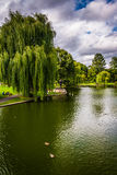 Weeping willow trees and a pond in the Boston Public Garden. stock photo