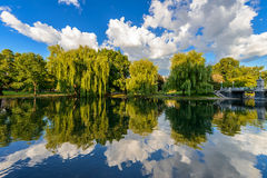 Weeping willow trees Stock Image