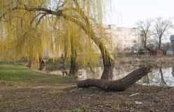 Weeping willow trees. Reflected on a lake Royalty Free Stock Images