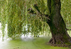 Weeping willow trees Stock Photos