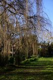 Weeping willow trees. In empty park on sunny day royalty free stock image
