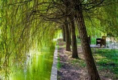 Weeping Willow Trees royalty free stock images
