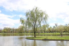 Weeping Willow in Washington DC Stock Photos