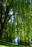 Weeping Willow. A weeping willow hanging over a small pond in the spring time royalty free stock image