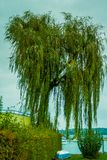 Weeping willow Stock Image