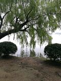 Weeping willow. The weeping willows are reflected in the water in xuanwu lake Stock Photography