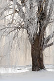 Weeping willow in winter Stock Image