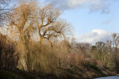 Weeping willow in winter Stock Photo