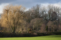 Weeping willow in winter royalty free stock images