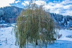 Weeping willow in winter mountains travel Stock Image