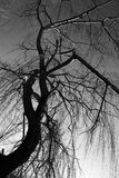 Weeping willow in winter. A shot from below of a weeping willow in winter, with skeletal branches creating beautiful textures stock image