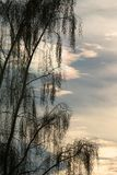 Weeping willow in the winter sun. The weeping willow (Salicaceae) is an easily recognizable tree with very long twigs. The weeping willow has been since long the royalty free stock photos
