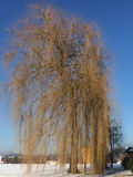 Weeping willow in wintertime Royalty Free Stock Image