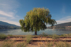 Weeping Willow at Wood Lake, Oyama Royalty Free Stock Photography