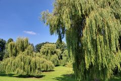Weeping Willows Stock Photo