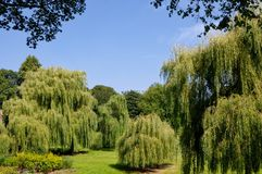 Weeping Willows Royalty Free Stock Images
