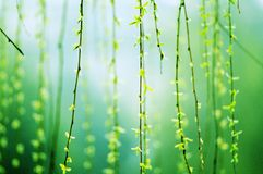 Weeping willows Stock Photos