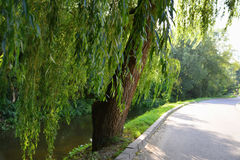 Weeping willows along the stream. Near the driveway stock photo